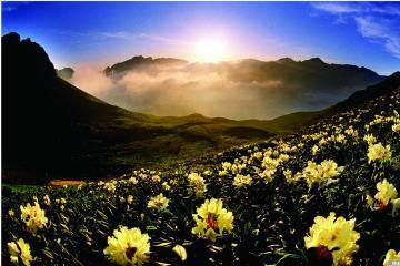 春晨迎日杜鹃花