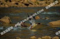 中华秋沙鸭水中嬉戏
