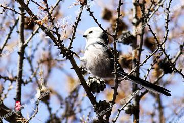 长尾银喉山雀